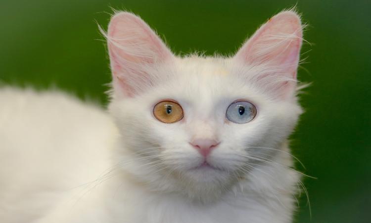 Batı Ermenistan'ın Van kedisi, bir batında 10 yavru doğurarak rekor kırdı