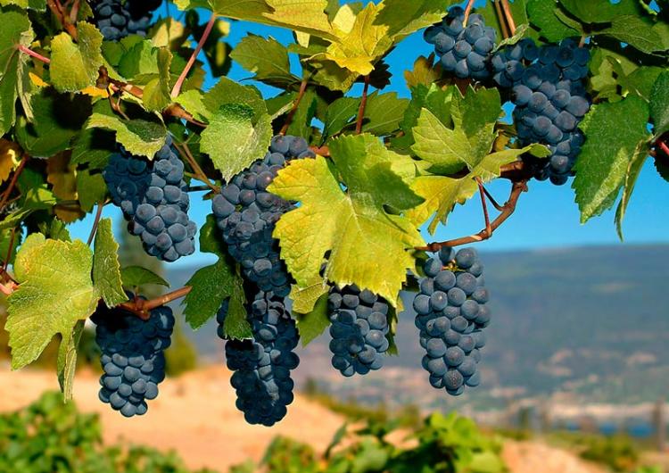 В Ване заканчивается сбор урожай эндемичного винограда,который достался в наследство от королевства Ван