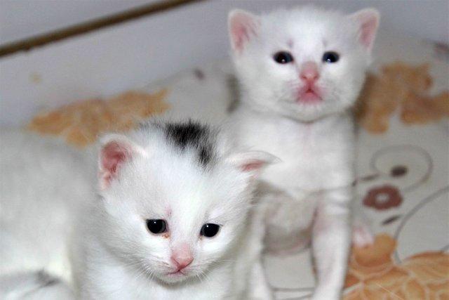 Естественная «печать» на голове Ванской кошки продолжает удивлять ученых