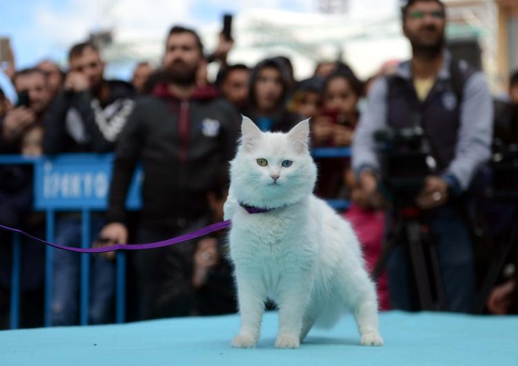 Ванские кошки будут представлены на Международном конкурсе красоты