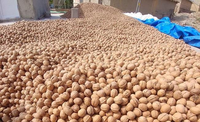 Արևմտյան Հայաստանում ավարտին է մոտենում ընկուզեղենի բերքահավաքը