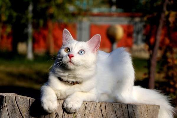Ванский кот  Су, выйграл международный конкурс, собрав все награды