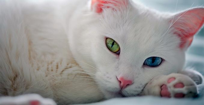 Ermeni Van kedilerinin en eski ırkı, bilim insanlarının hipotezini doğrulamaya yardımcı oldu