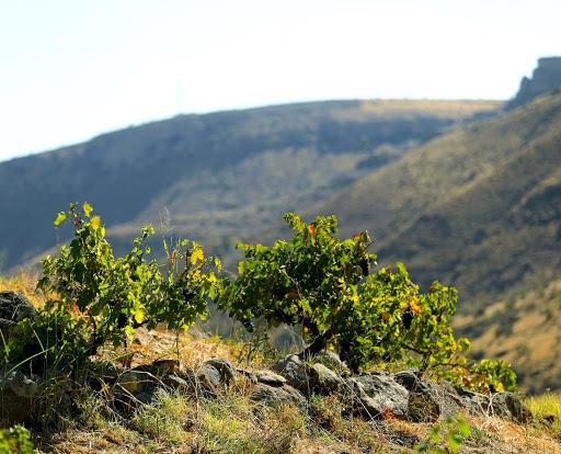 Հայկական առաջին օրգանական գինին՝ միջազգային ցուցահանդէսին