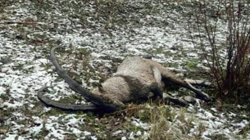 Batı Ermenistan'ın Dersim şehrinde kutsal sayılan bir dağ keçisi daha katledildi