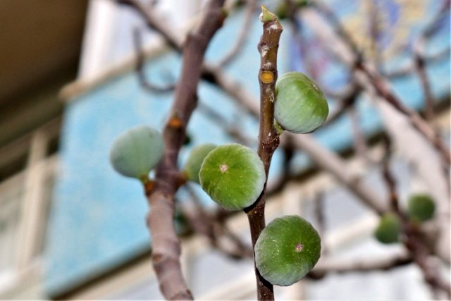 Смоковница в провинции Ван в Западной Армении дала плоды в декабре