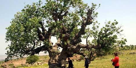 Պիստակի ամենածեր ծառերը կը գտնուին Կիլիկիոյ մէջ