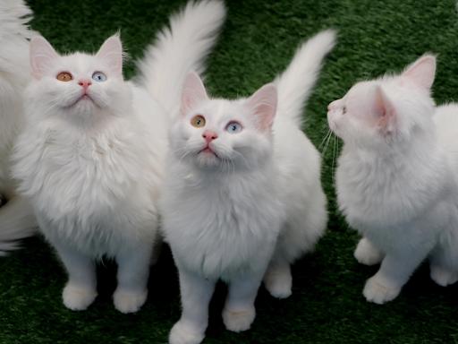 Van kedileri koronavirüse karşı özenle korunuyor