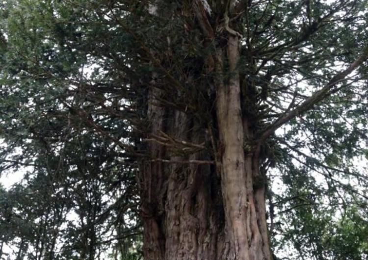2500-летнее дерево было найдено в провинции Мараш Западной Армении