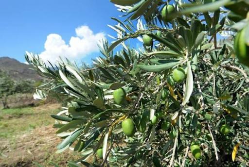 В селе Ишханадзор Арцаха посадили оливковую рощу