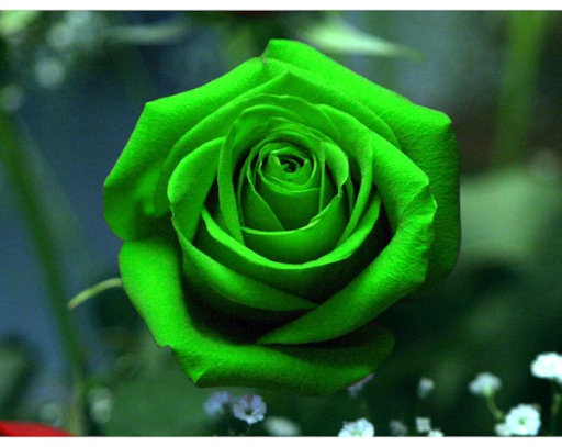 Արեւմտեան Հայաստանի սեւ վարդերը կանաչ մրցակից ունին