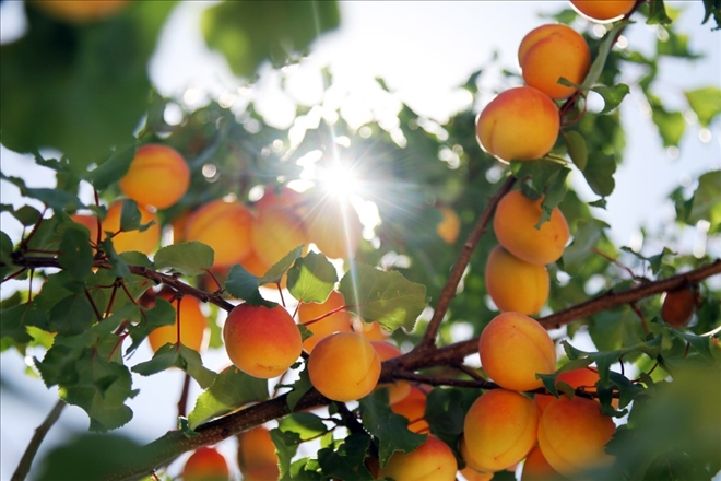 В «Сельскохозяйственной столице Западной Армении» начался сбор абрикосов