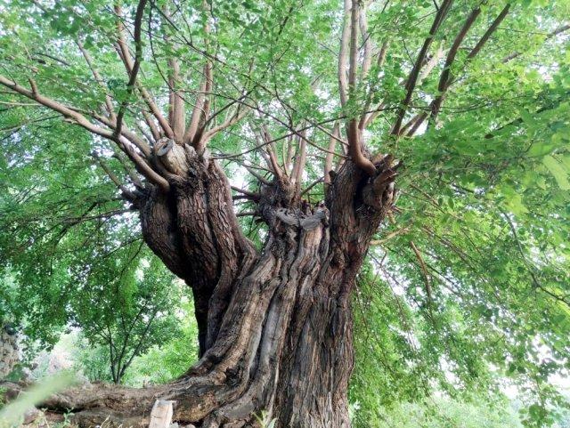 Batı Ermenistan'daki Dersim'de bin yıllık dut ağaçları bölgenin ekonomisine katkı sağlıyor